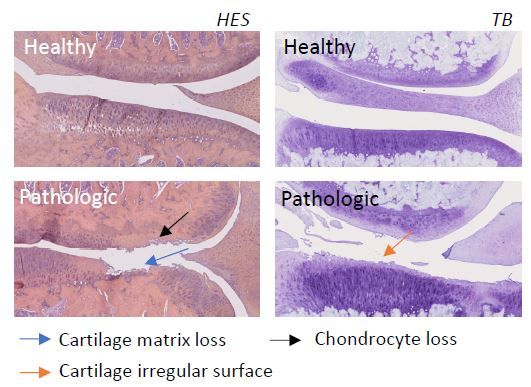 ACLT MNX osteoarthritis histology - preclinical model