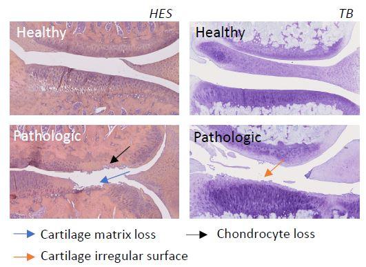 ACLT MNX osteoarthritis histology - preclinical model